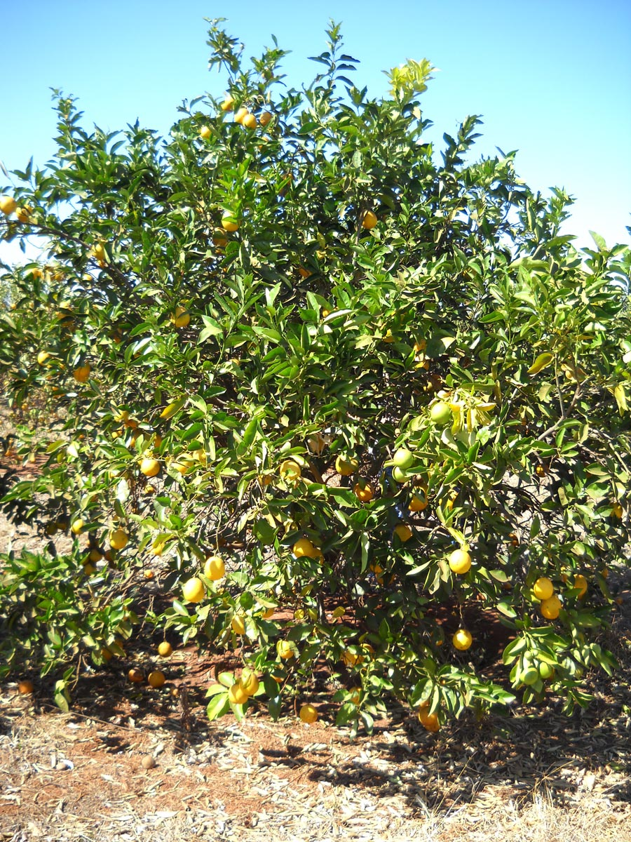 Laranja Pera enxertada sobre híbrido de tangerina Sunki com Poncirus trifoliata, conhecido como citrandarins, com alta tolerância à seca.