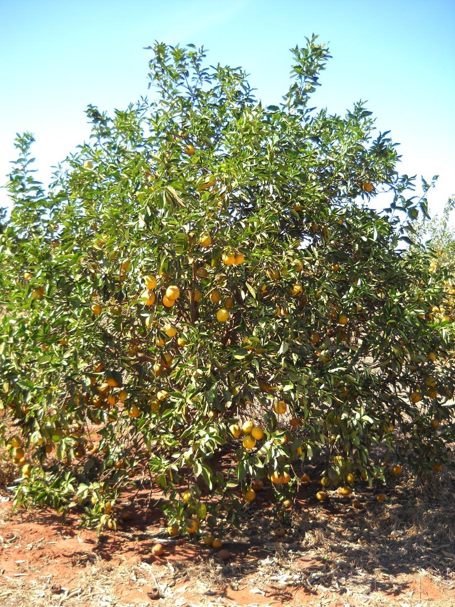 Laranja Pera enxertada sobre híbrido de tangerina Sunki com Poncirus trifoliata, conhecido como citrandarins, com mediana tolerância à seca.