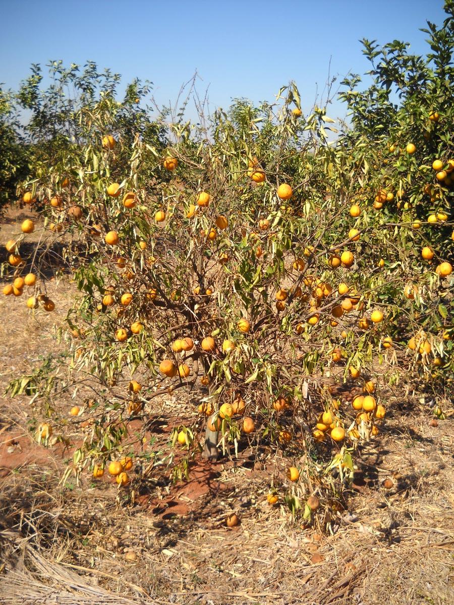Laranja Pera enxertada sobre híbrido de tangerina Sunki com Poncirus trifoliata, conhecido como citrandarins, com baixa tolerância à seca.