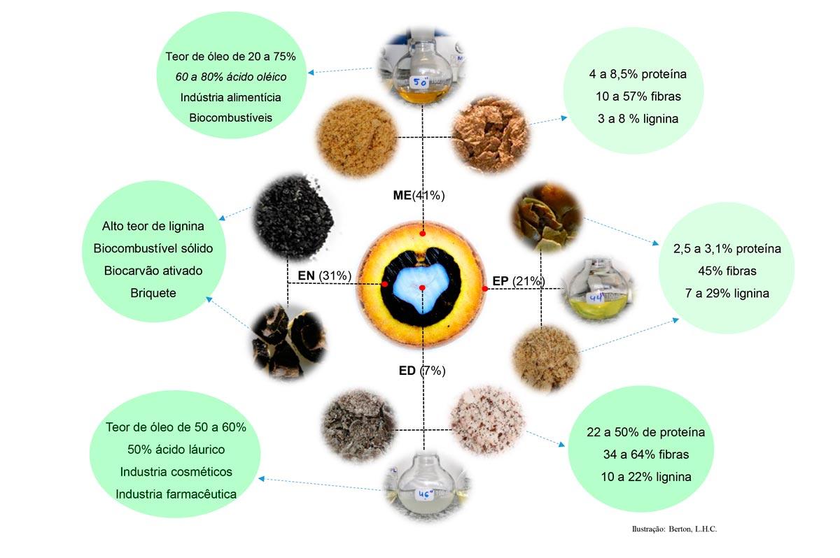 Características químicas e perfil de utilização de partes do fruto da macaúba representadas em termos de porcentagem média em relação ao fruto inteiro, sendo endocarpo (EN), mesocarpo (ME), epicarpo (EP), e endosperma (ED), de frutos de macaúba. Valores em base seca.