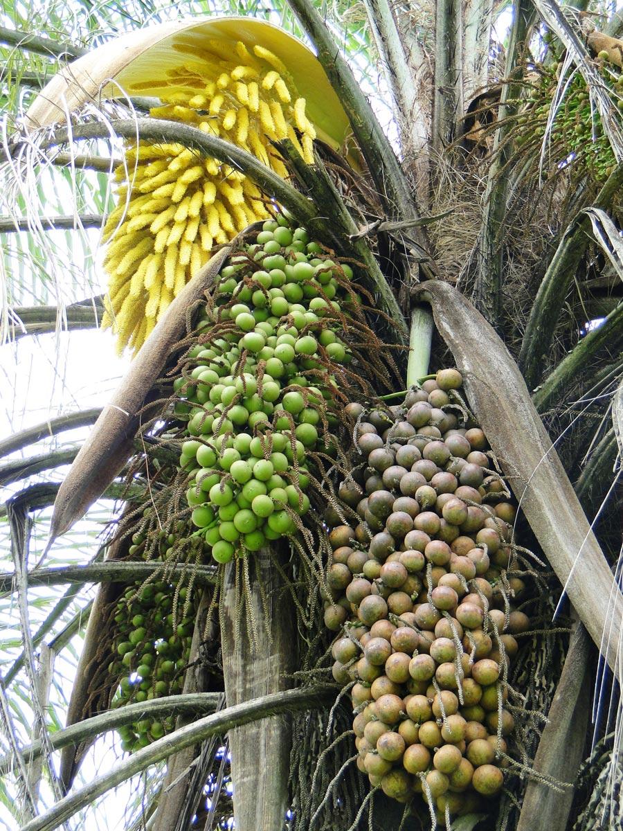 Florescimento da Macaúba