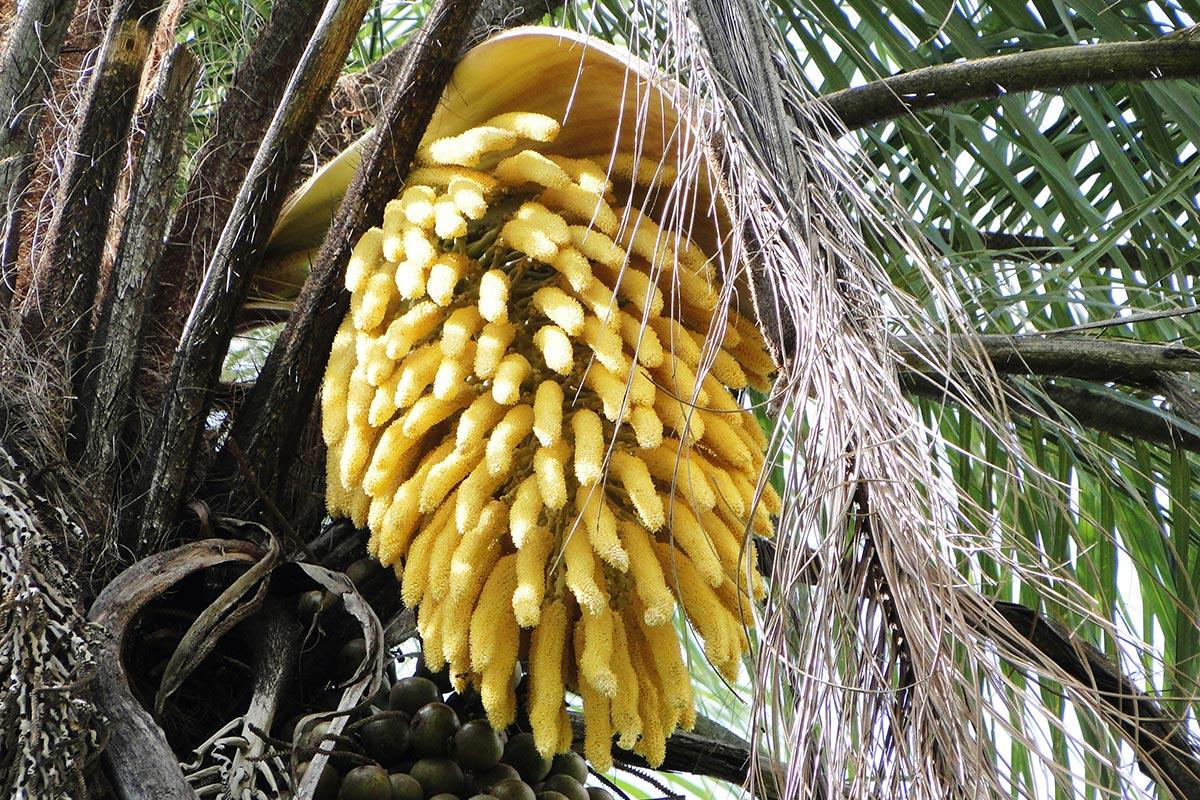 Resultado de imagem para mitigar efeitos climaticos no plantio maauba
