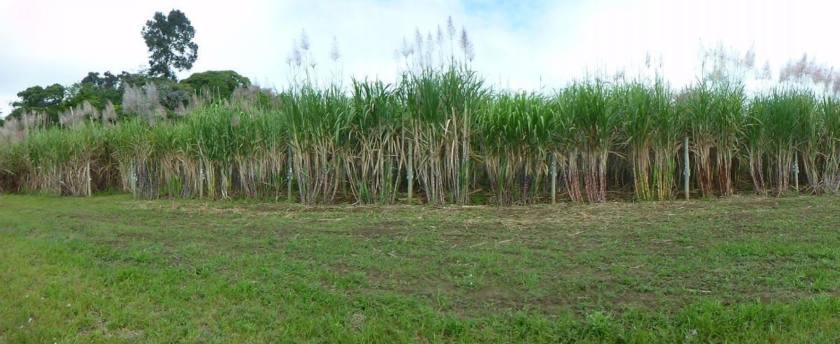 Coleções de trabalho na Estação de Hibridação de Cana de açúcar em Serra Grande (Uruçuca, Bahia).