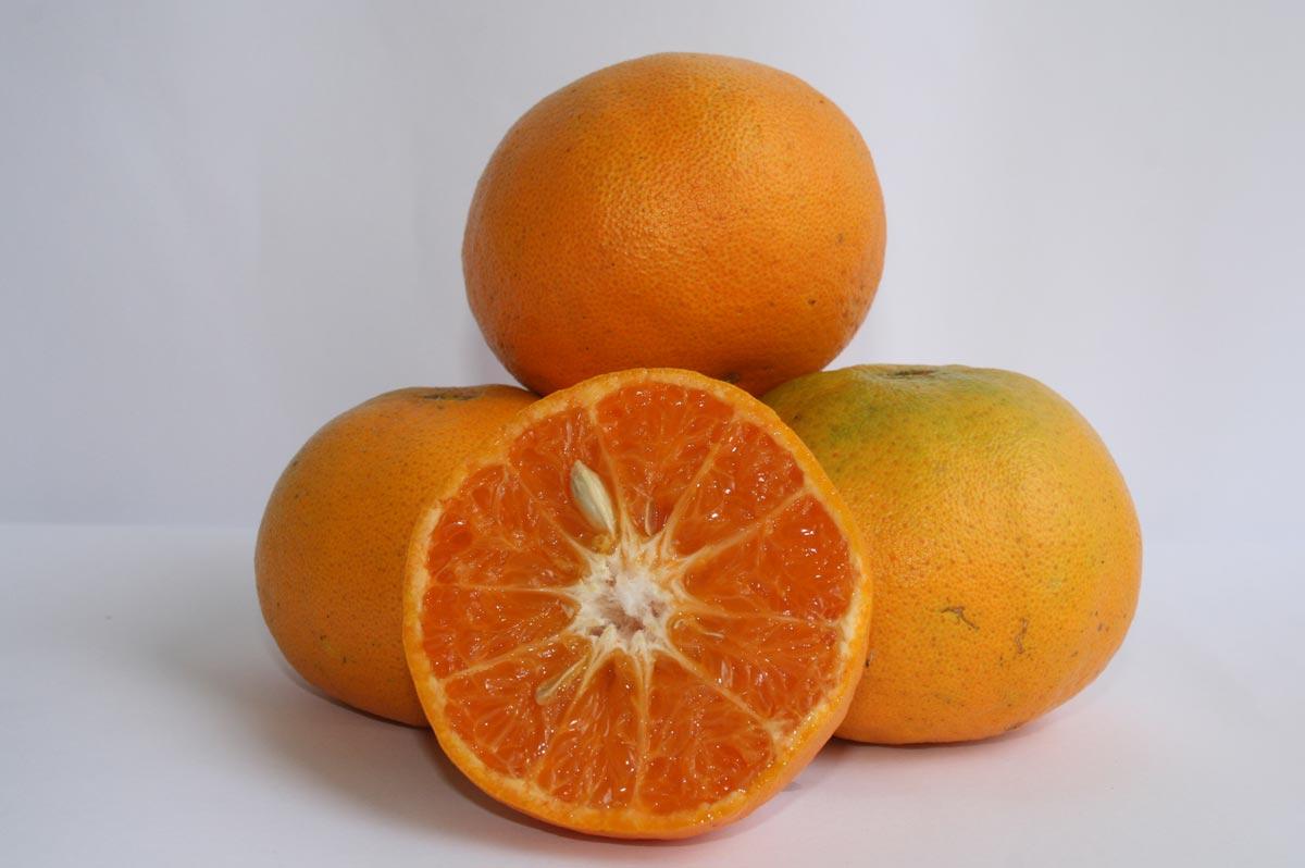 Híbrido de laranja Pera com tangor Murcott do Programa de Melhoramento de Citros do Centro de Citricultura Sylvio Moreira/IAC.